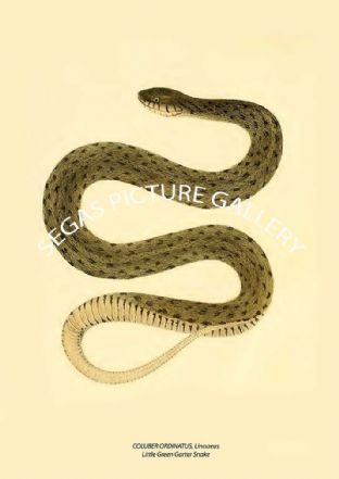 COLUBER ORDINATUS, Linnaeus - Little Green Garter Snake